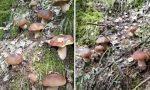 Tantissimi porcini in pochi metri: l'emozione straordinaria del cercatore di funghi